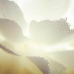 Sun Shining Through White Peony Petals