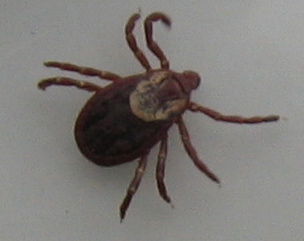 other tick
