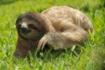 Three_Toed_Sloth_Crawling_In_Grass_600