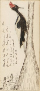 Ivory-billed woodpecker from 1890 journal