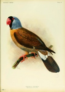 The Mascarene Parrot. Now Extinct. Rothschild, Lionel Walter Rothschild. Extinct Birds (1907).http://biodiversitylibrary.org/page/38665729