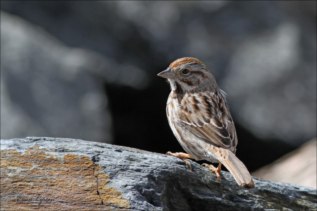 Song Sparrow, photographed in Sagamore, Mass. Photos courtesy of Evan Lipton. © Evan Lipton 2013.