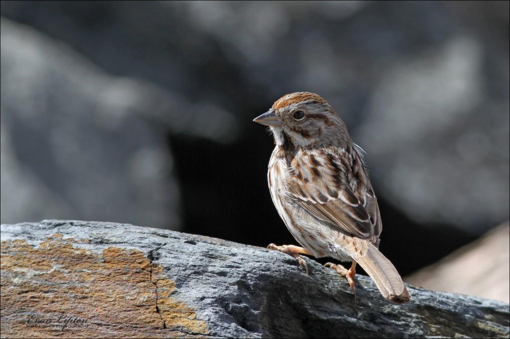 Song Sparrow, photographed in Sagamore, Mass. Photos courtesy of Evan Lipton. © Evan Lipton 2013.