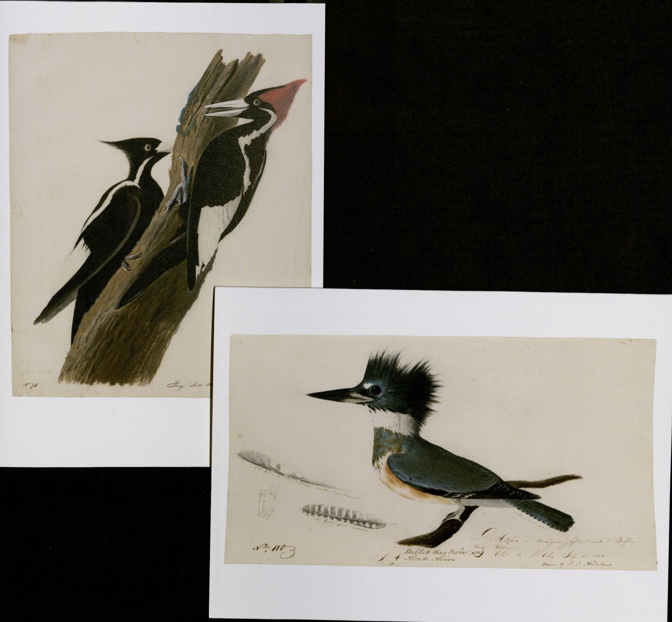 John James Audubon, Ivory Billed Woodpeckers and Belted Kingfisher. MS Am 21 (31) & (50)
