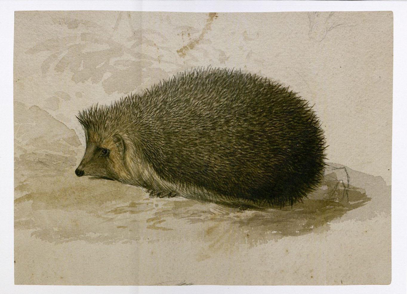 Edward Lear. Hedgehog. MS Typ 55.12 (8)