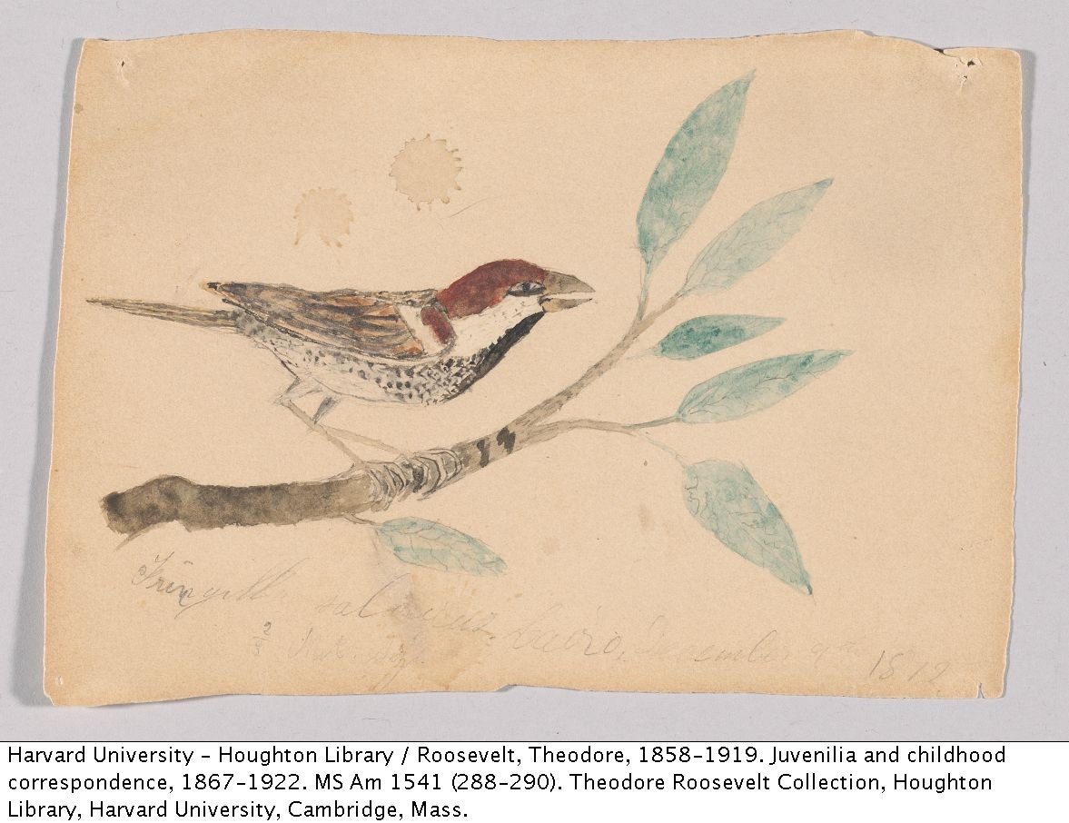 Theodore Roosevelt. Sketch of a Bird, [1870s?]. MS Am 1541 (288)