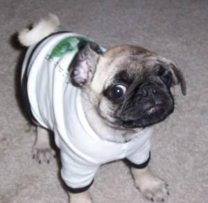 Little Sheba the Hug Pug