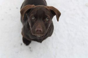 A chocolate lab puppy named Woody is looking up at the camera. There is snow on the ground.