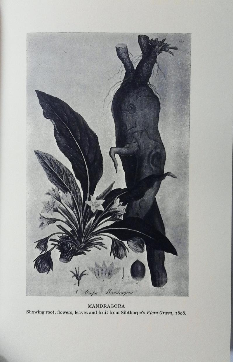 The Magic Mandrake root